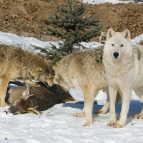 Idaho sets new wolf seasons and expands methods of take