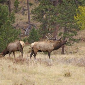 Idaho man guilty of poaching multiple bull elk