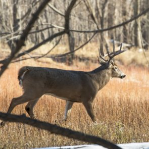 New whitetail study looks at predator-prey relationship in Idaho