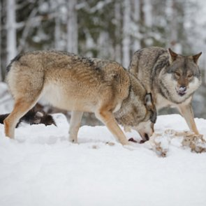 Wolves killed in Idaho to help elk population
