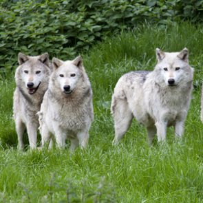 Wolves could lose federal protections in the lower 48