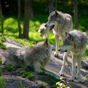 Three more Idaho wolves killed after livestock depredation