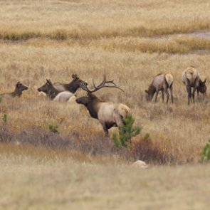 IDFG moves over a dozen elk from Magic Valley area