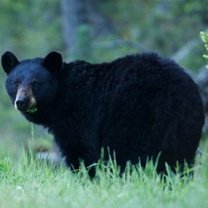 Black bears return to the Hawkeye State