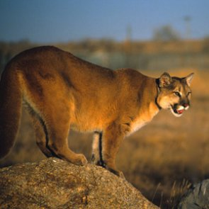 Iowa teen kills mountain lion in self defense