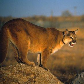 Iowa teen kills mountain lion in self defense