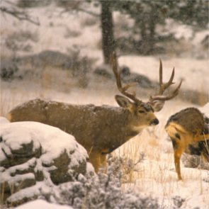 High fawn mortality equals less mule deer opportunity in Idaho