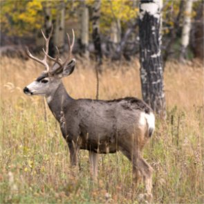 NM study will determine impact of oil and gas on mule deer