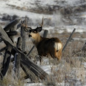 Utah's deer get help from emergency feeding program