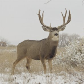 Colorado tries baiting to save deer and elk