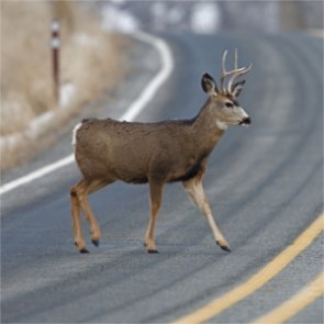 Oregon makes safe passage for wildlife a priority