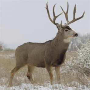 Are mule deer bringing ticks to Alaska?