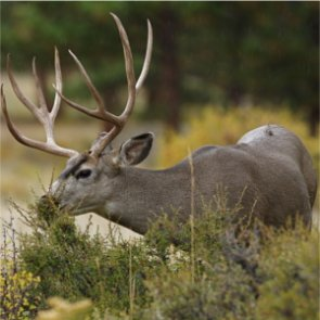 "PETA member calls Maryland deer cull ""cruel"""