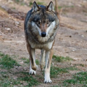2017 Mexican wolf survey complete