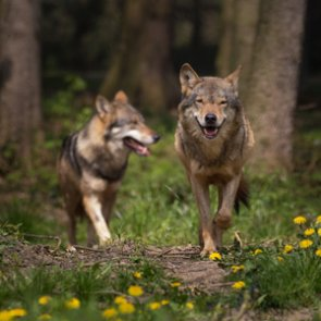 Mexican wolf recovery still successful