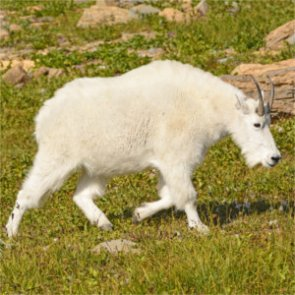 Wyoming mountain goats on the rise as bighorn sheep decline