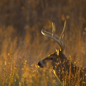 Michigan whitetail test positive for bovine tuberculosis