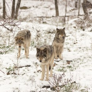 Want to count wolves in Michigan?