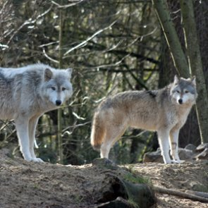 Michigan's Isle Royale only has two wolves left