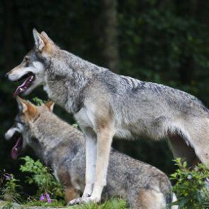 Michigan biologist discusses wolf facts versus myths
