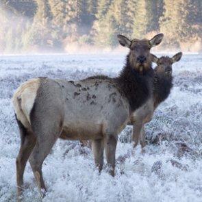 Will elk return to northeast Minnesota?