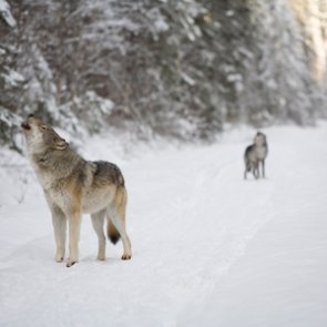 Will wolf hunting return to Minnesota?