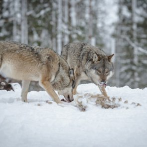 No wolf hunting in Minnesota?