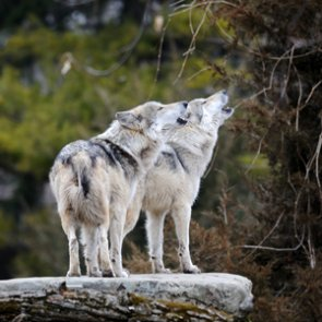 Two Minnesota wolves relocated to Michigan's Isle Royale