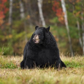 Missouri to hold first black bear hunt