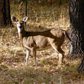 Missouri deer test positive for hemorrhagic disease