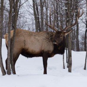 Missouri Conservation Commission approves second elk season