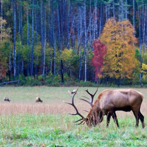 Will there be an elk hunting season in Missouri?