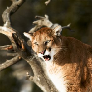 Are mountain lions killing too many bighorn sheep in Nebraska?