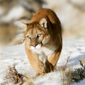 Judge rules in favor of continuing Colorado's predator management project