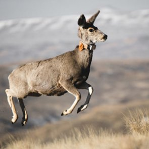 "Wyoming uses ""spokesdeer"" to teach about mule deer migration"