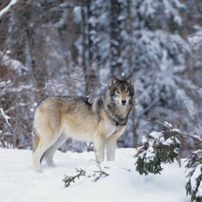 Montana closes out record wolf season