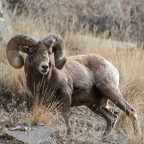 Wild Horse Island may yield new world record bighorn