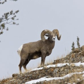 Montana moves bighorn sheep from Malta to Plains