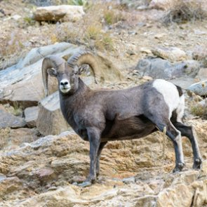 MTFWP works to learn more about the Painted Rocks Reservoir bighorn sheep herd