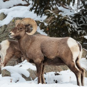 Will bighorn sheep horn collecting become legal in Montana?
