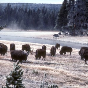 Over 1,000 bison removed during Yellowstone cull