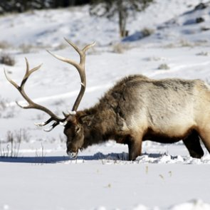 Montana to track brucellosis in elk