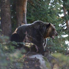 Grizzly bear kills Montana camper