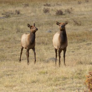 Montana considers extending cow elk season in more hunting districts