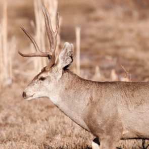 EHD infects Montana deer