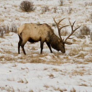 It's a clean bill of health for elk in the Tendoy and Bangtail mountains