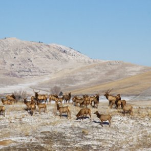 Montana to Wyoming: Stop feeding the elk