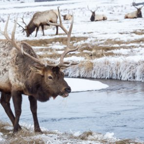 Northern Yellowstone elk herd healthy and growing