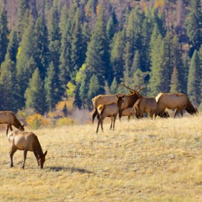 Montana's elk and whitetail deer season should be great despite wildfires