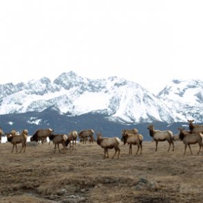 Montana proposes elk shoulder season